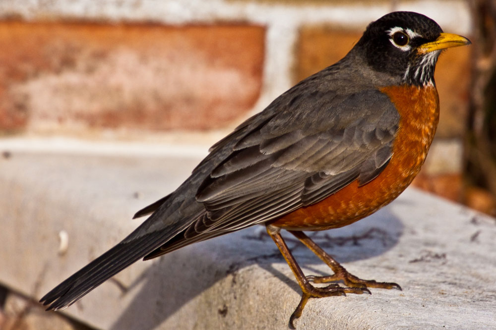 American Robins, so called The Bird of Spring