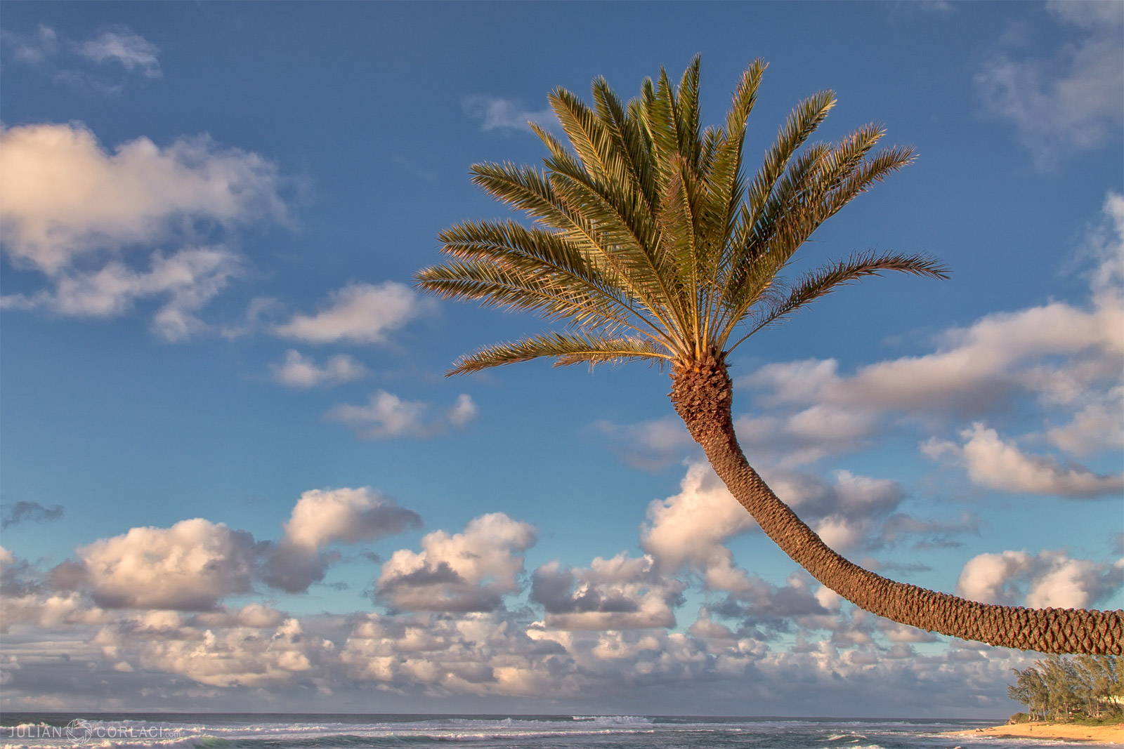 Curved Palm Tree