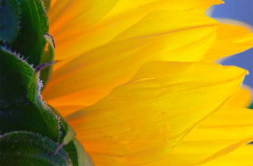Dramatic Yellow Petals